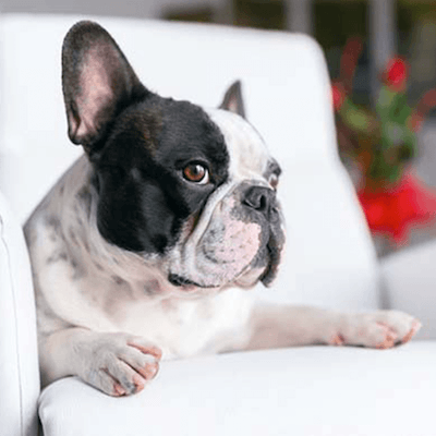 Boombox - 5 Best Dog Breeds for Small Apartments